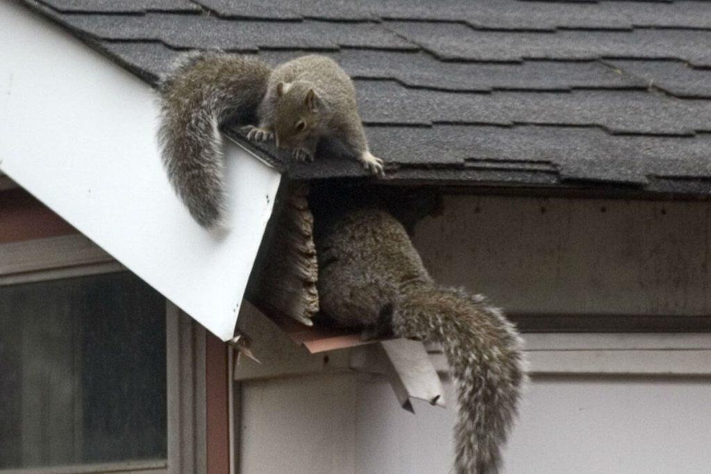South-Carolina Squirrel Removal
