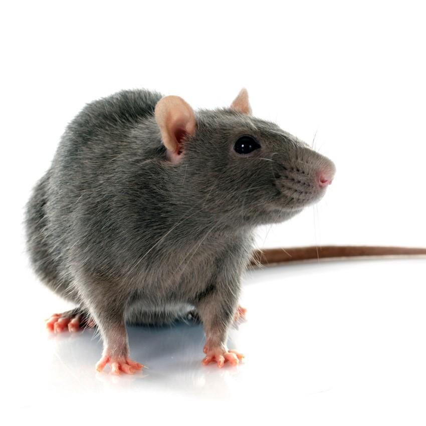 Tampa Rat Control